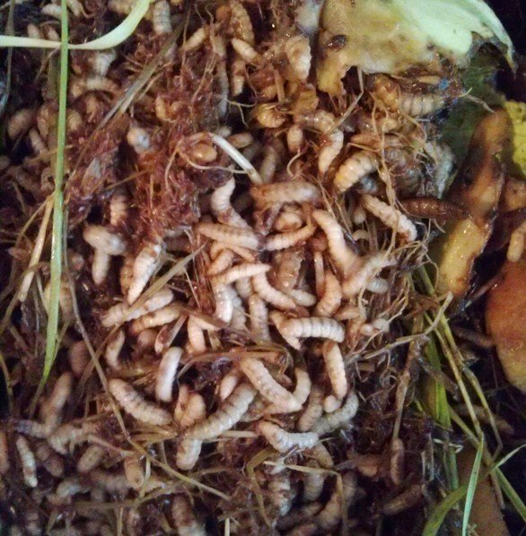 Black Soldier Fly larvae (BSFL) feeding and growing on food scrap waste