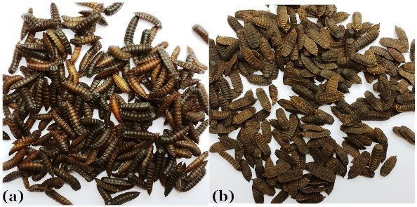 image of freshly harvested and sun-dried BSF prepupae