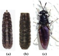 images of BSF fly (a) gray-black puparium adjacent to (b) empty puparium shell left after emergence of (c) adult fly from puparium, and an adult fly