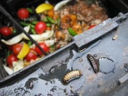 Image of two bsfl crawling on the inside rim of a composting bin containing food scrap undergoing degradation by bsfl