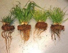 image showing growth stimulatory effect of BSF leachate Fountain grass root sturcture and foliage